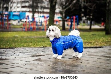 In rainy autumn shih tzu in clothes in the park