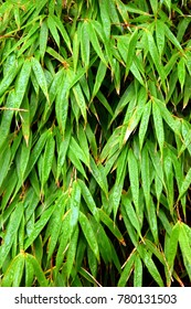 Rainy bamboo leaves