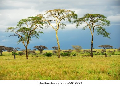 Rainy day in the african savannah and three trees