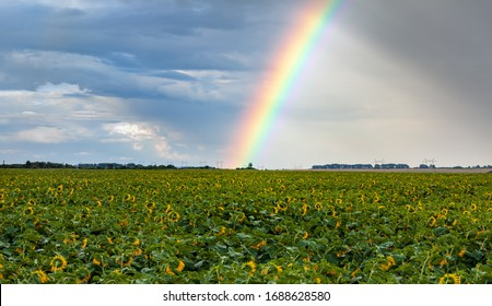 rainy day in the countryside. rainbow in the sky over a field of sunflowers