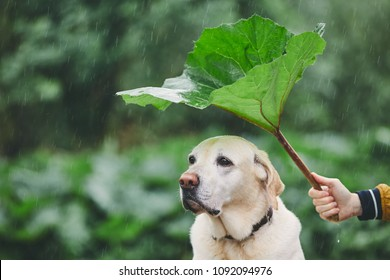 Rainy day with dog in nature. Man holding leaf of burdock above his sad labrador retriever.