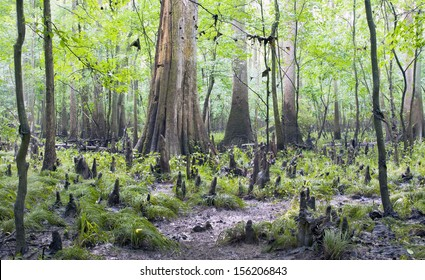 A rainy and misty day in the cypress forest and swamp of Congaree National Park in South Carolina.