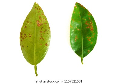 In rainy season, At the garden, There are lime leaf and lemon leaf are canker diseases on white background.