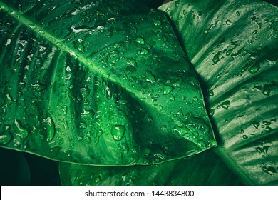 rainy season, water drop on green palm leaf, big foliage in rain forest, nature background