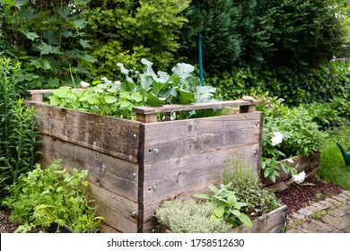 Raised beds with green herbs and broccoli growing in wooden DIY  vegetable bed in urban garden.