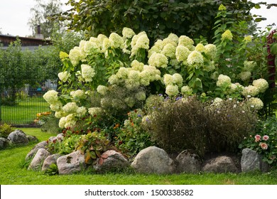 Raised flower beds in the countryside garden. Blooming white Hortensia (Latin: Hydrangea macrophylla) plants on beautiful sunny September day in Estonia.