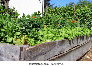 Raised garden bed with green lettuce, beans and French marigold