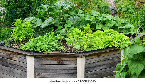 Raised Garden Beds in shape of triangle. Made from wood. Vegetable garden bed with green salad,  pumpkins and spinach in  the spring. Suitable high garden beds.