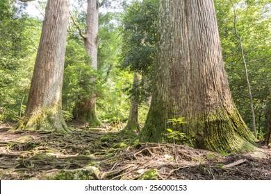 Raised roots longevity japanese cedar forest in green plants