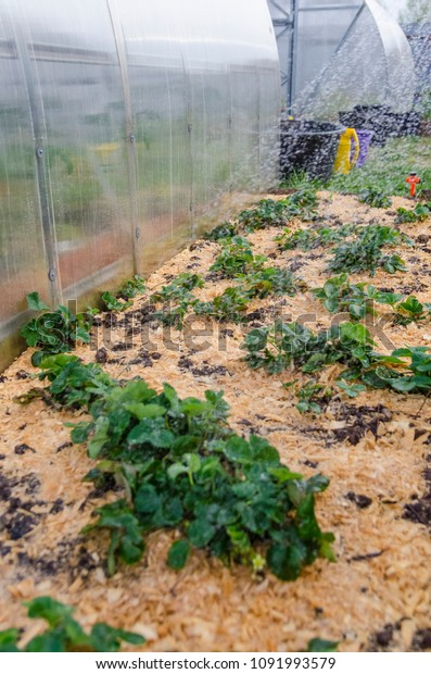 Raised Strawberry Bed Mulched Wood Shavings Stock Photo