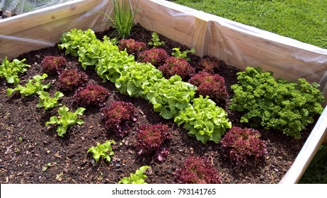 Raised-bed gardening with jung plants; salad, parsley, chives,celeriac