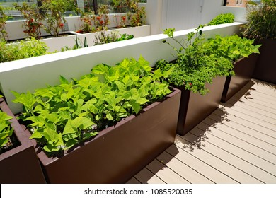 Raising bush green beans on an outdoor terrace in planters to create the home garden, for healthy eating.
