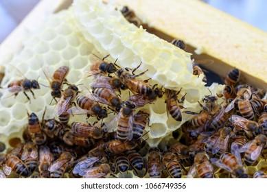 Raising Honey Bee Hive