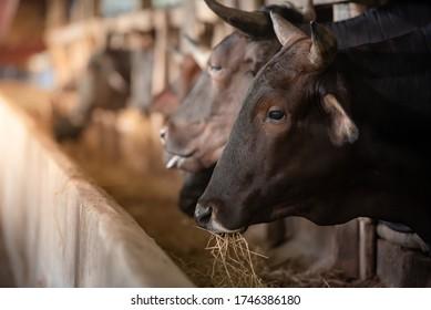 Raising wagyu cows at an industrial farming farm. Concept: raising animals or farmers raising cowshed wagyu cows. Industrial farming farm