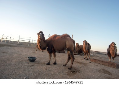 Raising camels,In the west of Inner Mongolia of China.