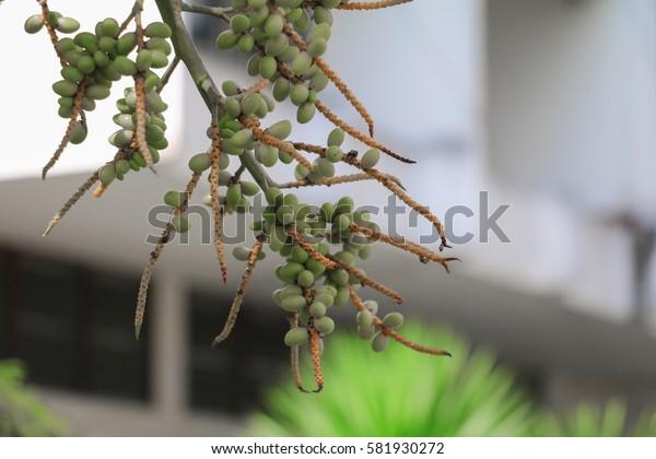 Raja Lipstick Palm (Sealing wax , Lipstick , Raja , Maharajah ) ornamental plant in garden. select focus with shallow depth of field.