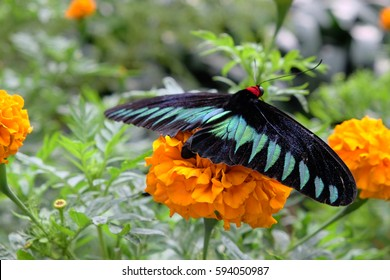 Rajah Brooke's Birdwing