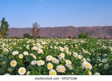 Rajasthan, India. Field chrysanthemums around Pushkar