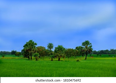 Rajshahi, Bangladesh - August 18, 2020: There are some trees on a green field over the blue sky in a village, Beautiful village scene