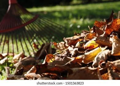 Raking fall leaves with rake