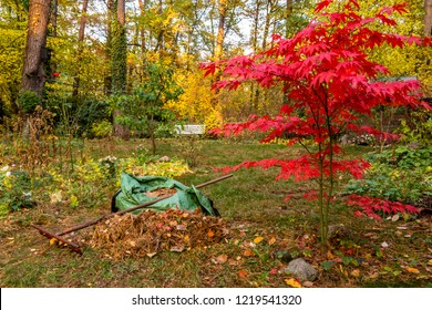 raking of leaves in a garden in autumn with red japanes maple