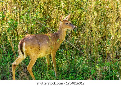 Raleigh, North Carolina USA-04 12 2021: A Whitetail Deer Reenters Heavy Brush Beside the Neuse River Trail on an Early Spring Morning.