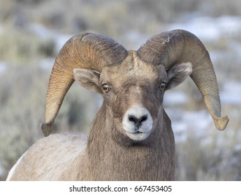 Ram bighorn sheep in sagebrush meadow