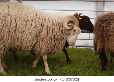 A ram is charging a sheep