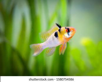 ram cichlid (Mikrogeophagus ramirezi) in a fish tank