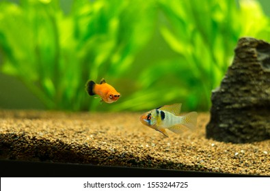 ram cichlid and platy fish tropical fishes on a fish tank