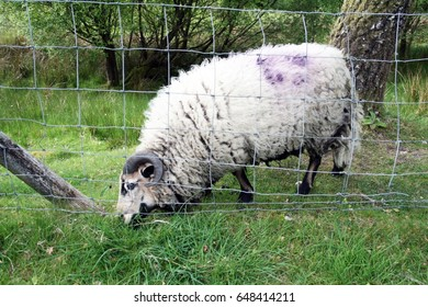 Ram in field wire fence