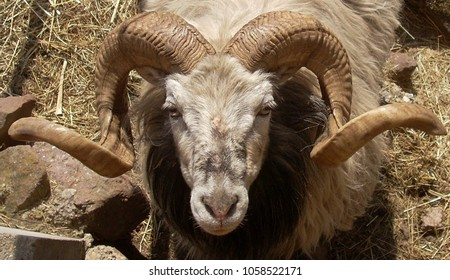 A ram head with horns  close up.