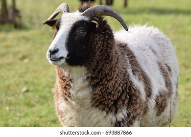 Ram - Male sheep