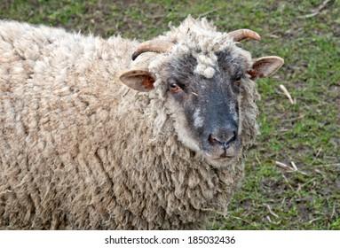 ram on a background grass