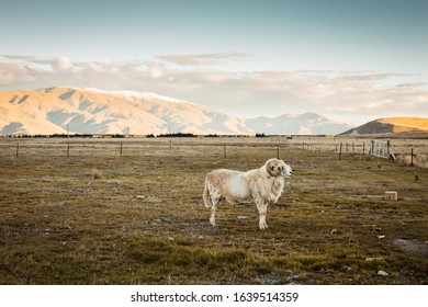 A ram on the farm in New Zealand