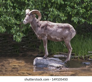 Ram perching on rock waiting to cross river in Colorado