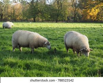 Ram sheep staring in a field in Ireland