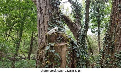 Ram skul in Bazos arboretum park Romania