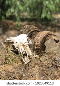 Ram skull in the dirt