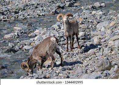 Ram Stone Sheep Drinking Along the Alaska Hwy in May in Stone Mountain Provincial Park of British Columbia Canada, Stone Sheep are a subspecies of Dall Sheep, aka Thinhorn Sheep (Ovis  dalli)