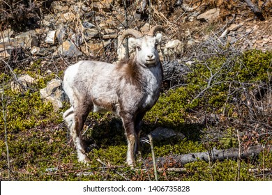 Ram Stone's Sheep in southern Yukon Territory of Canada. Related to Dall's Sheep, Bighorn and Thinhorn Sheep. Wildlife in Canada