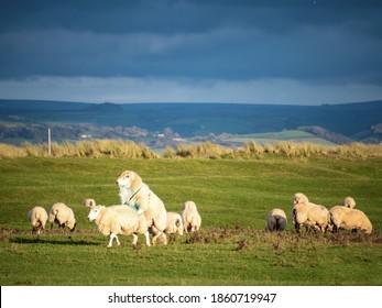 Ram, tup mounting ewe, domestic sheep mating in flock.