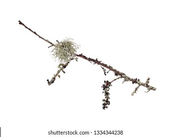 Ramalina lichen, green fruticose type with flattened, strap-like branches. Aka strap or cartilage lichens. On twig, isolated on white.