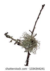 Ramalina lichen, green fruticose type with flattened, strap-like branches. Aka strap or cartilage lichens. Closeup, on twig, isolated on white.