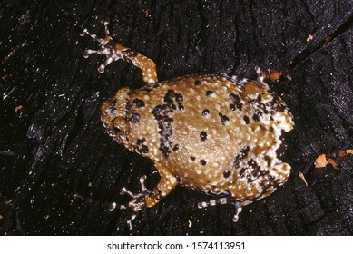 Ramanella Variegata. Variegated Ramanella. This small frog has discs on its finger tips and not on the toes. Superficially it resembles a toad.