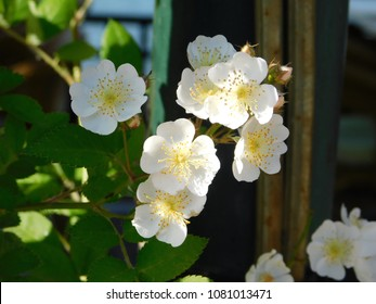 Rambler or baby rose or rosa multiflora white flowers in Greece