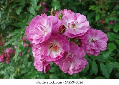 rambler rose maria lisa  on a  birch