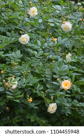"""rambling or climbing rose """"Ghislaine de Féligonde"""" with clusters of small flowers in salmon pink, apricot and yellow, bred in France by Turbat"""