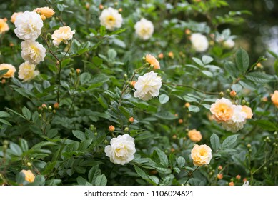 """rambling or climbing rose """"Ghislaine de Féligonde"""" with clusters of small flowers in salmon pink, apricot and yellow, bred in France by Turbat, selected focus, narrow depth of field"""