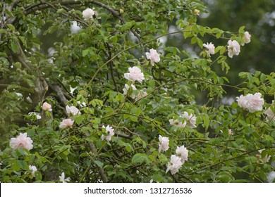 """rambling or climbing rose """"Madame Alfred Carriére"""" with bright pink flowers in an apple tree, old noisette rose bred by schwartz 1875, selected focus"""